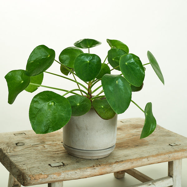 Pilea Peperomiodes in Modern Grey Planter - Field Guide