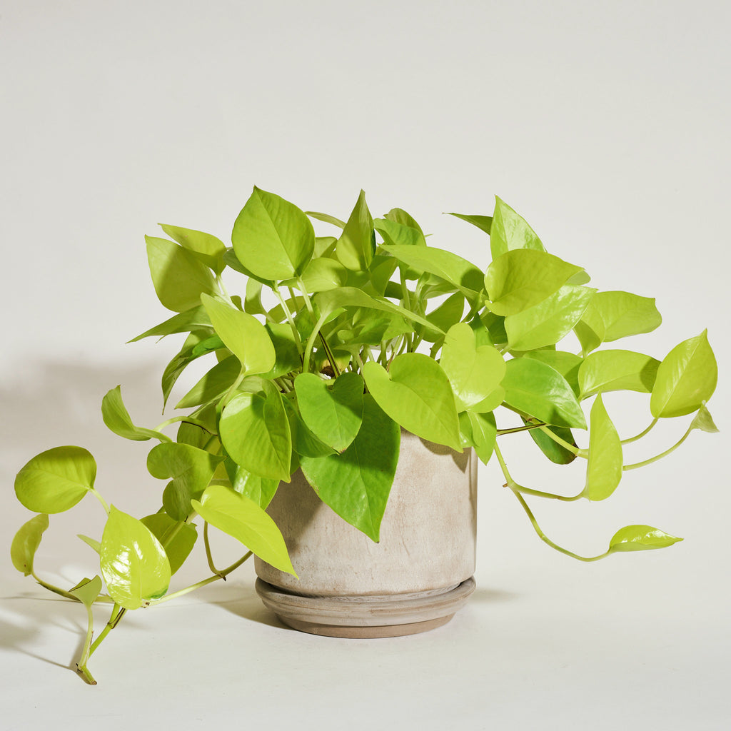 Neon Pothos in Modern Clay Planter - Field Guide