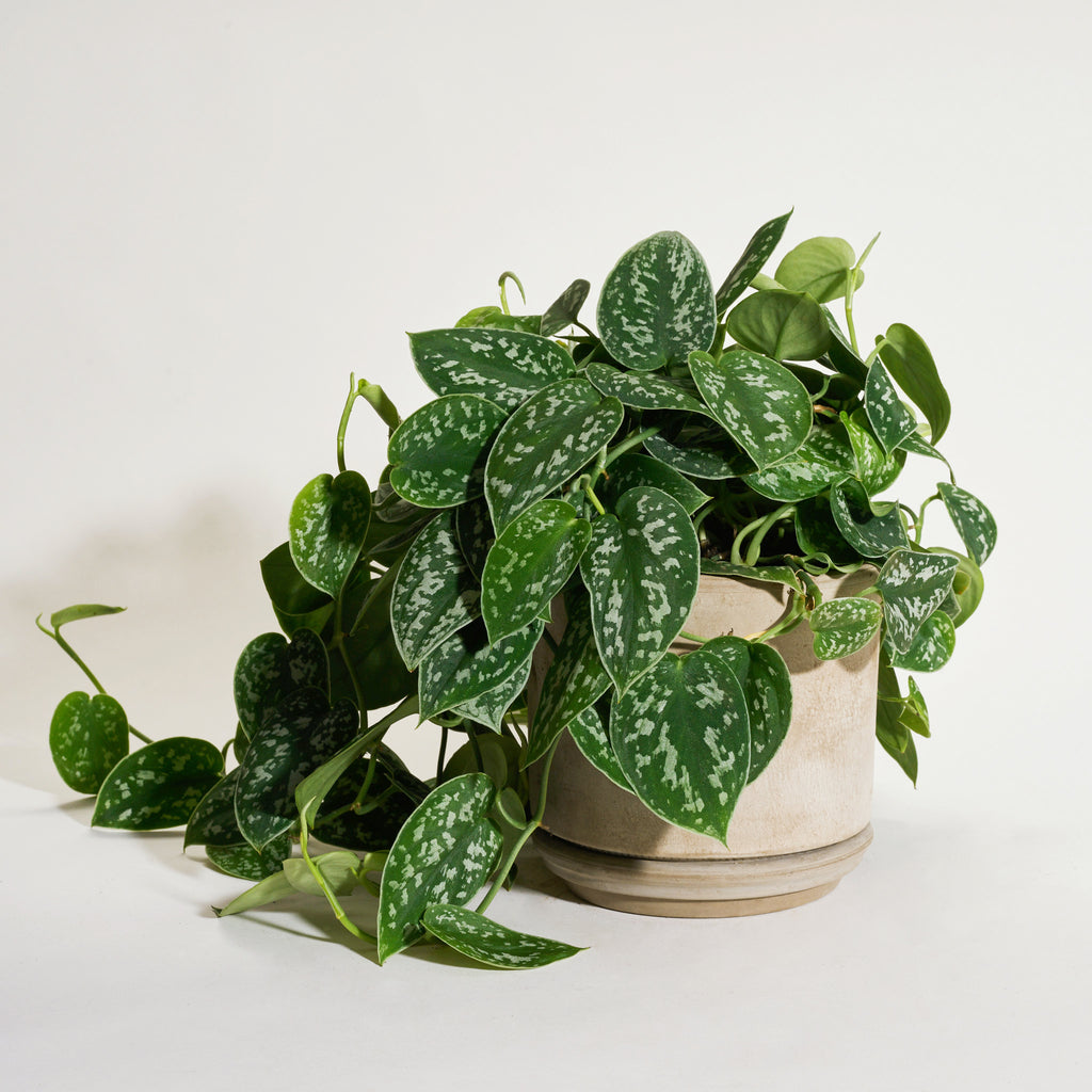 Silver Satin Pothos in Modern Clay Planter - Field Guide