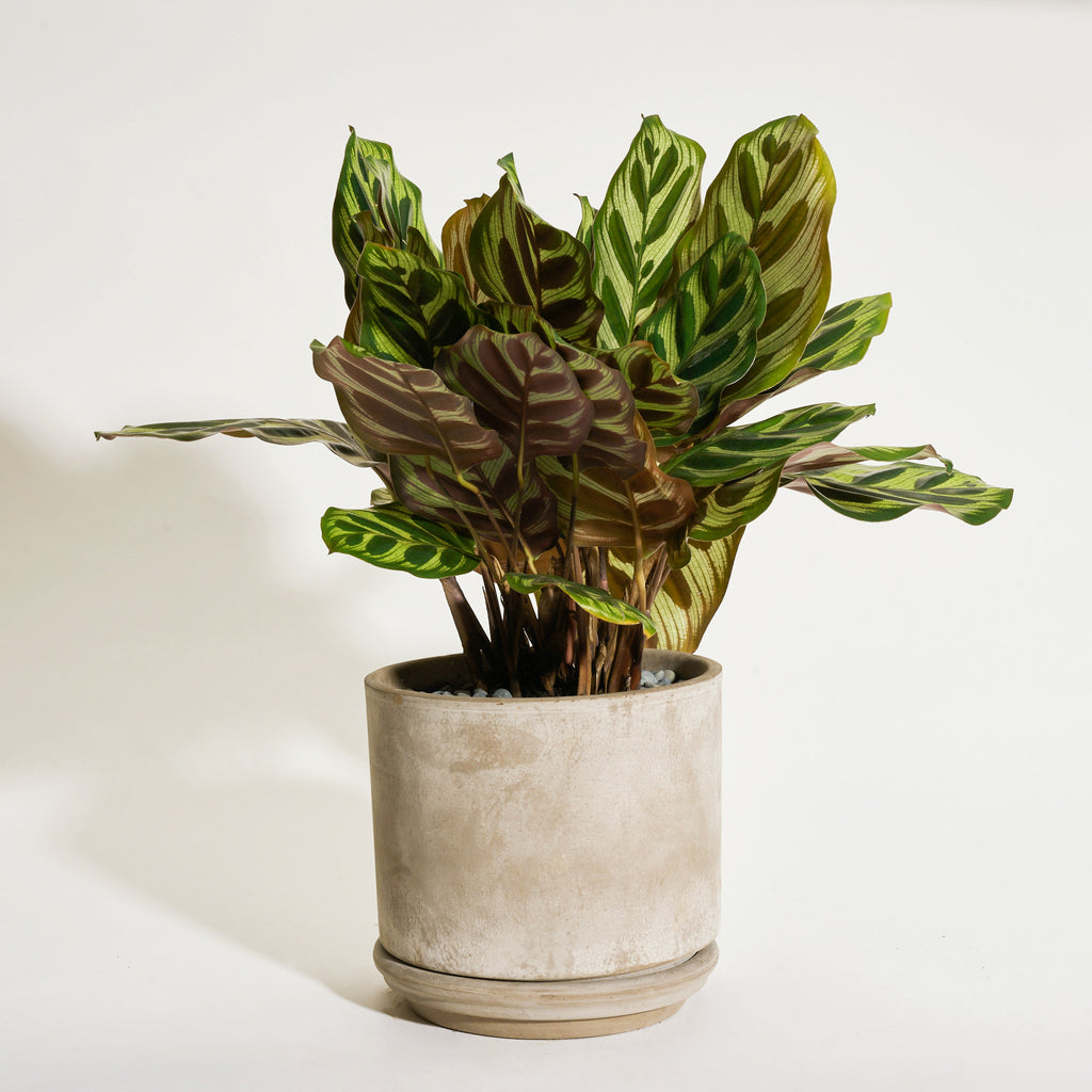 Calathea Peacock in Modern Clay Planter - Field Guide