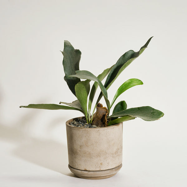 Staghorn Fern in Modern Clay Planter - Field Guide