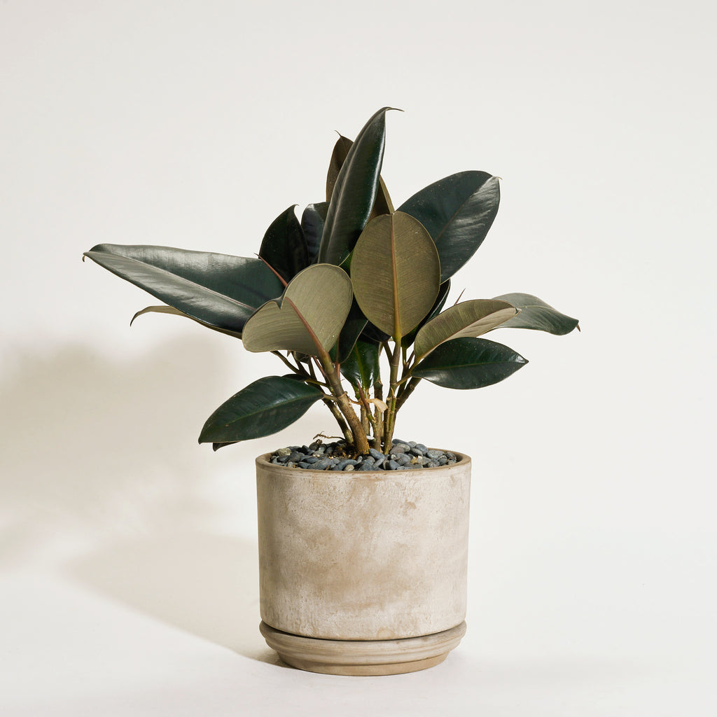 Ficus Elastica in Modern Clay Planter - Field Guide