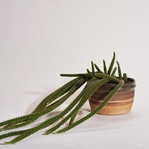 Rat Tail Cactus in Vintage Pottery Craft Planter - Field Guide