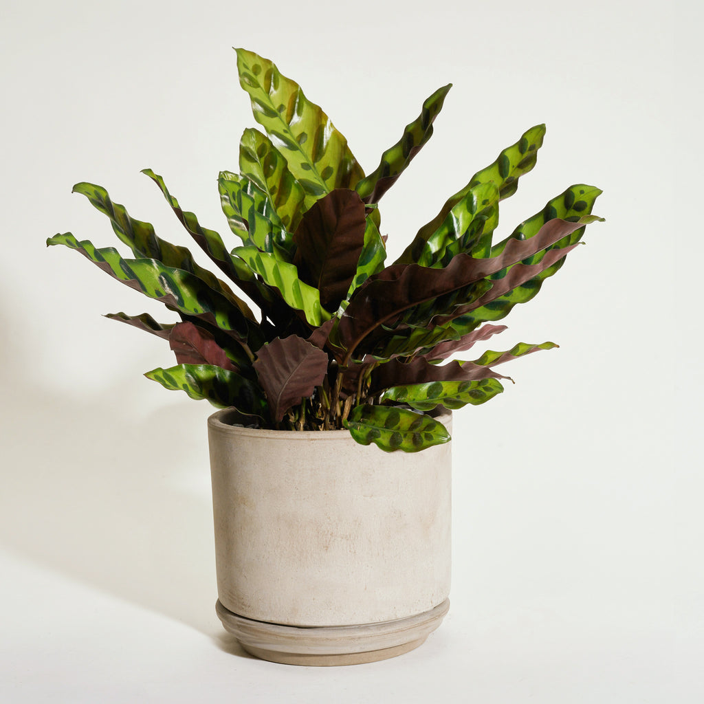 Calathea Rattlesnake in Modern Clay Planter - Field Guide