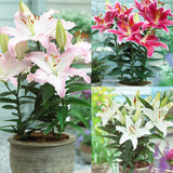 Oriental Lily mixed x 10 bulbs