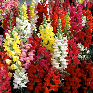 Antirrhinum Tom Thumb Mixed (half Hardy Annual)