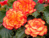 Begonia Illumination Golden Pictoee x 12 plants