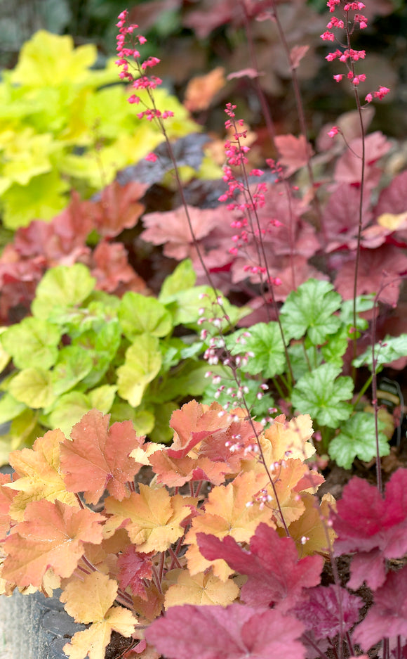 Heuchera 'Colour Select' x 3 (9cm)