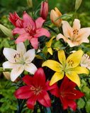Lily Asiatic mixed x 10 bulbs