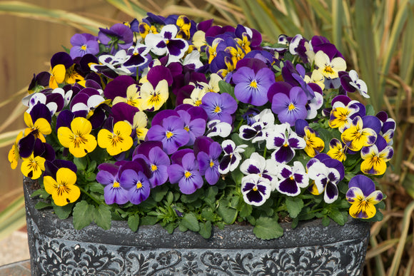Autumn Bedding 'Lucky Dip' x 24 plants - FREE DELIVERY!