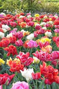 Tulip Double Flowered Mix x 10 (10/11)