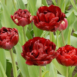 Tulip Double Red 'Antraciet' x 10 bulbs