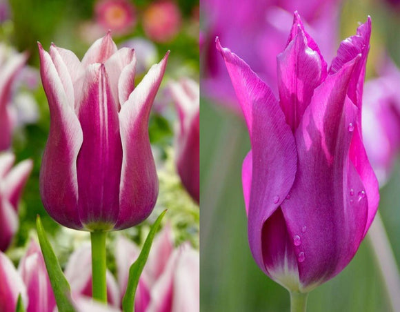 Tulip Lily Flowered Duo x 30