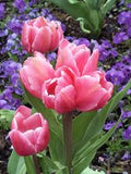 Tulip Happy Family x 7