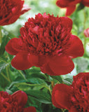 Peony 'Felix Crousse' Double Red x 1 bare root