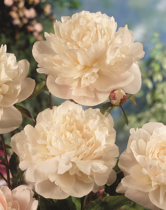 Peony Double White x 1 TOP SIZE bare root