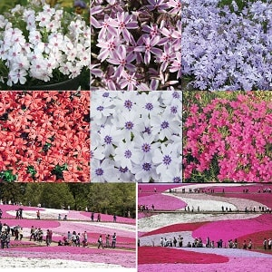 Scented Ground cover Phlox x 12 plugs only £8.99