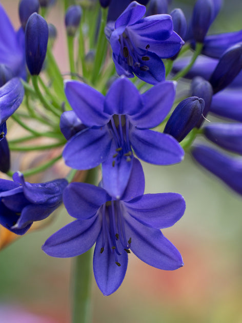 Agapanthus Flower of Love x 3 (9cm)