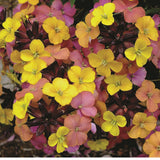 Erysimum (Wallflower) mixed x 5 jumbo plugs