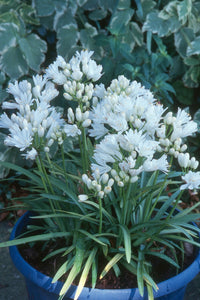 Agapanthus 'Double Diamond' x 3 (9cm)