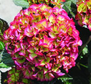Buy 1 get 2 extra free  Hydrangea 'Glam Rock' Just £8.99 including delivery
