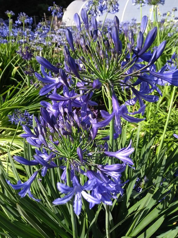 3 x Agapanthus 'Night Sky'