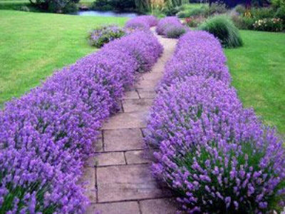 English Lavender 'Folgate' x 10 plants to overwinter
