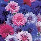 Cornflower Double Mixed (Hardy Annual)