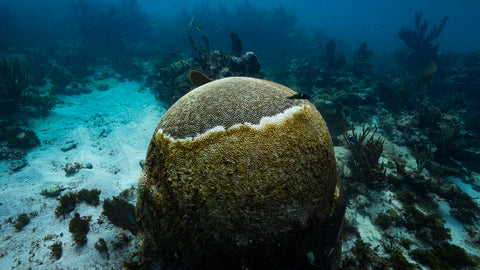brain coral affected by stony coral tissue loss disease