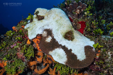 blanqueamiento coral cozumel