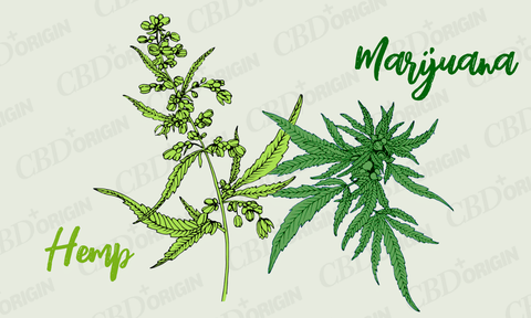 hemp and marijuana comparison, what is the difference