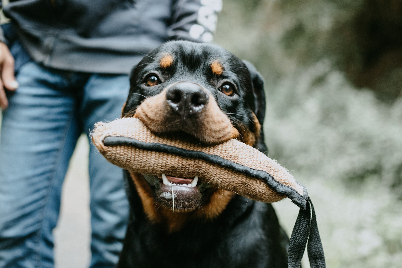 CBD Oil for Rottweilers