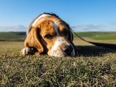 Natural Supplements For Dogs With Cancer