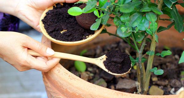 Coffee grounds used as compost
