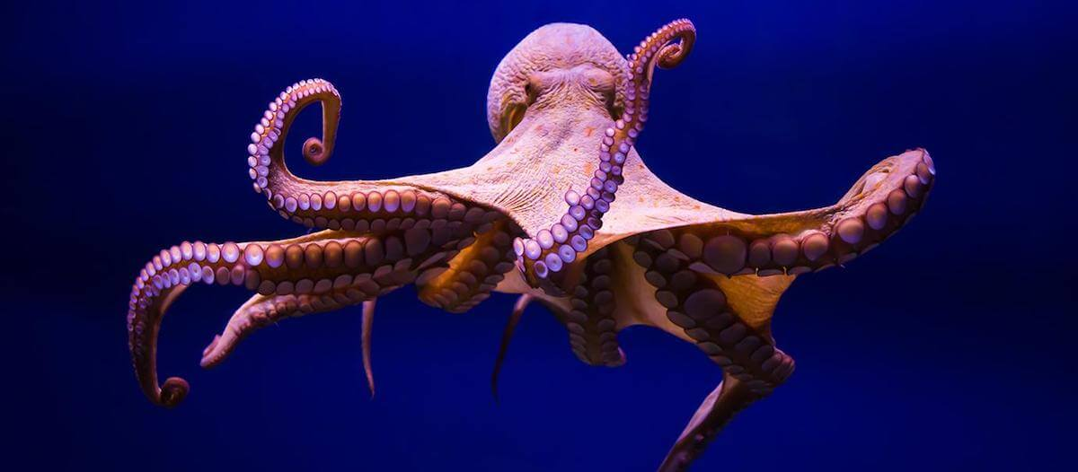 Octopus Changes Colors While Possibly Dreaming