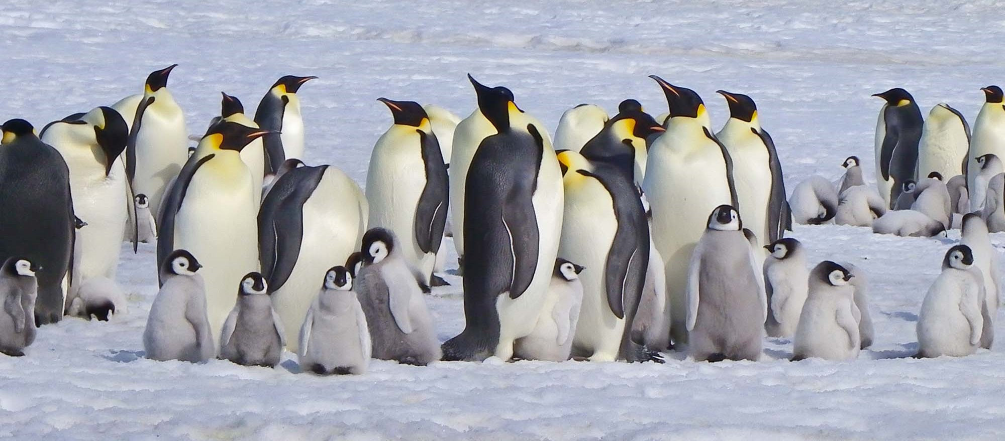 Thousands of Emperor Penguin Chicks Have Been Wiped Out