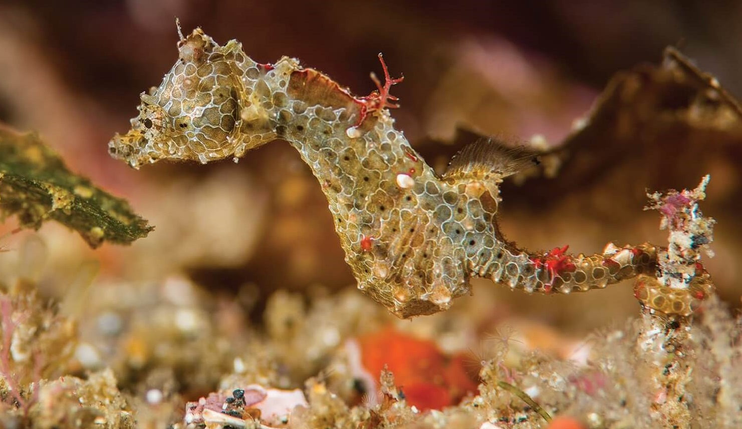 Newly Discovered Seahorse That's the Size of a Grain of Rice