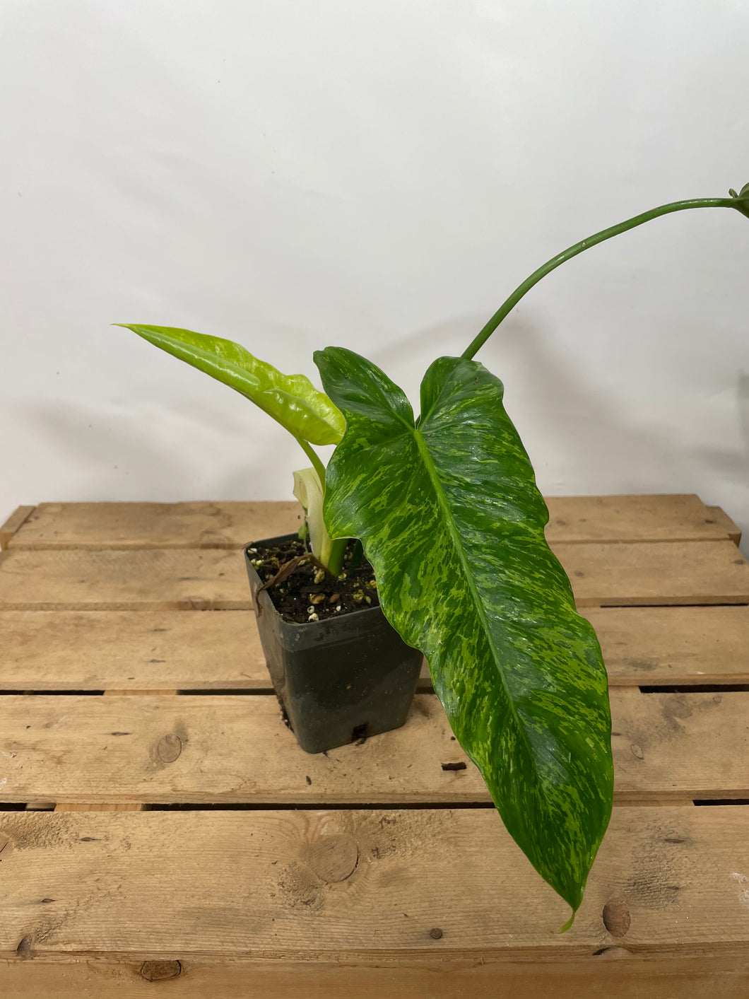 Philodendron Golden Dragon 4