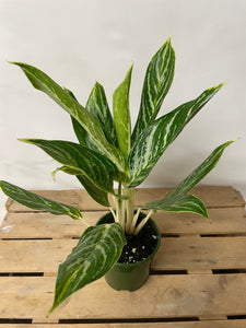 Aglaonema Golden Madonna 5""