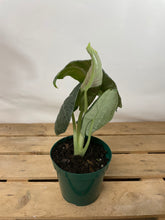 Load image into Gallery viewer, Alocasia Maharani 4""