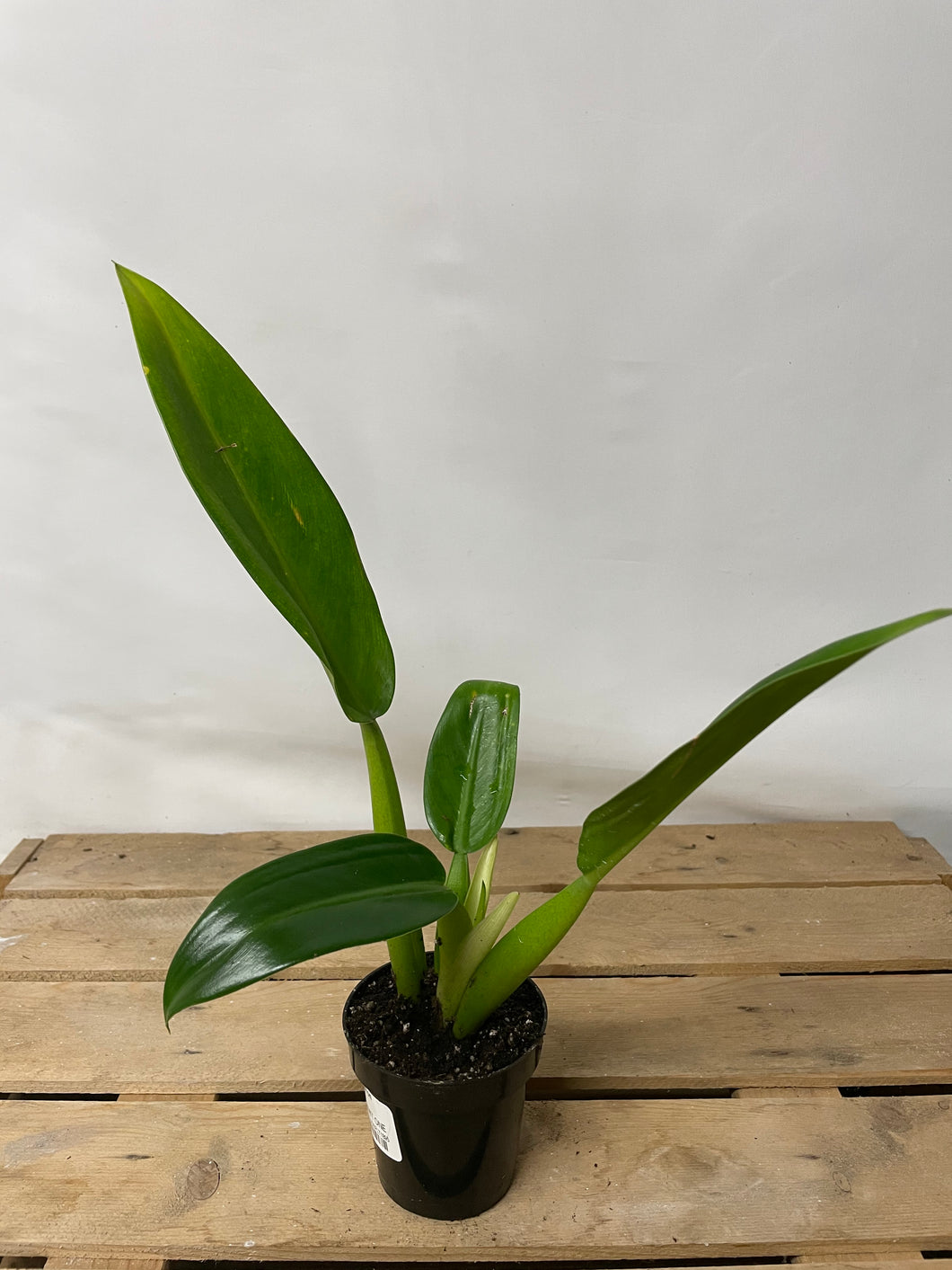 Philodendron Fat Boy