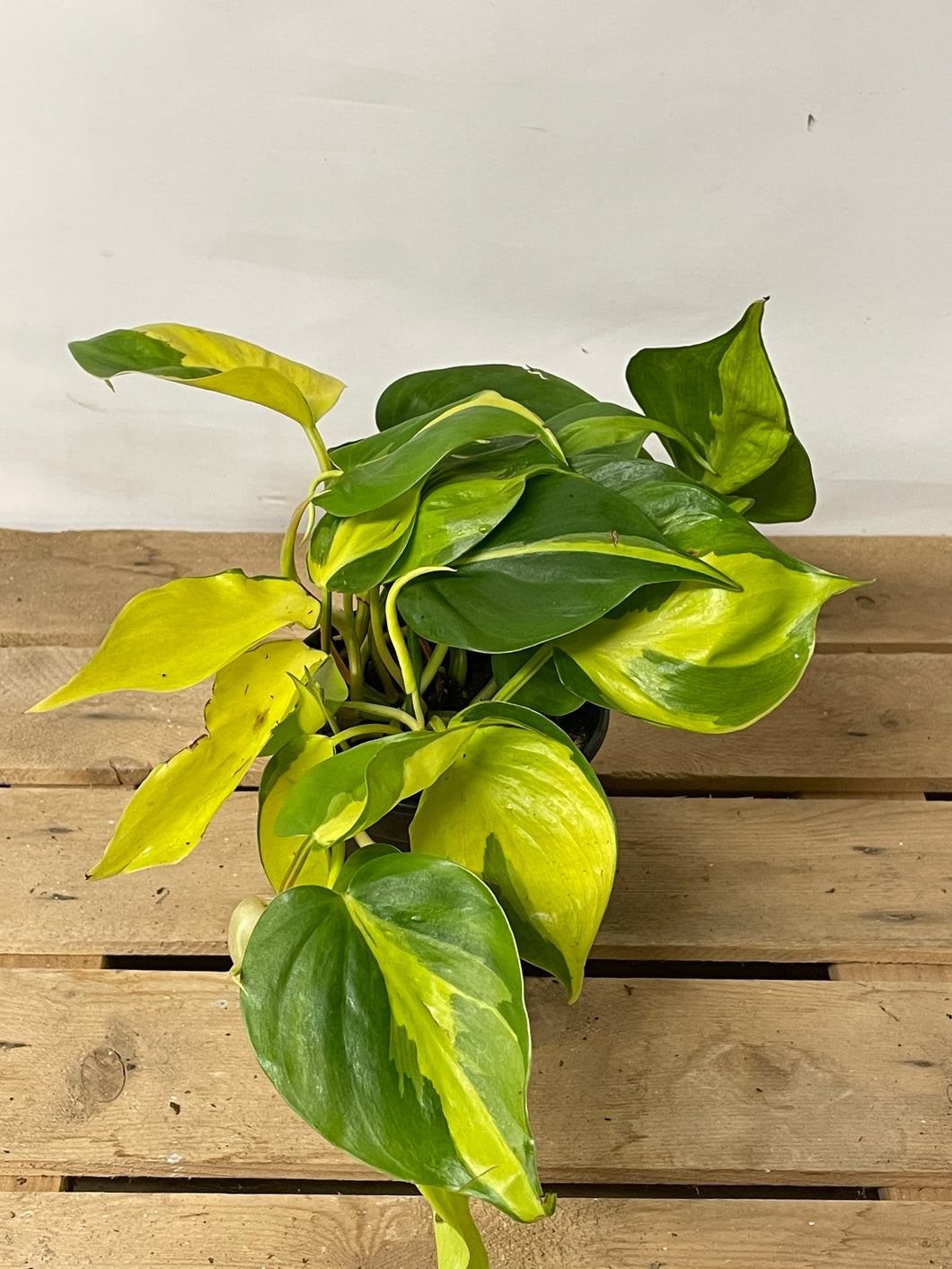 Philodendron Brasil 4