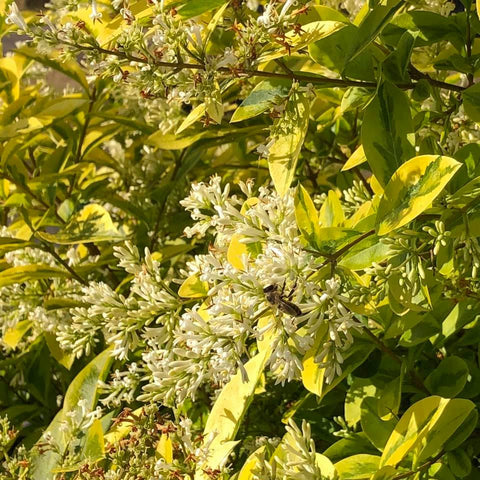 Ringwood New Forest Honey - Golden Privet