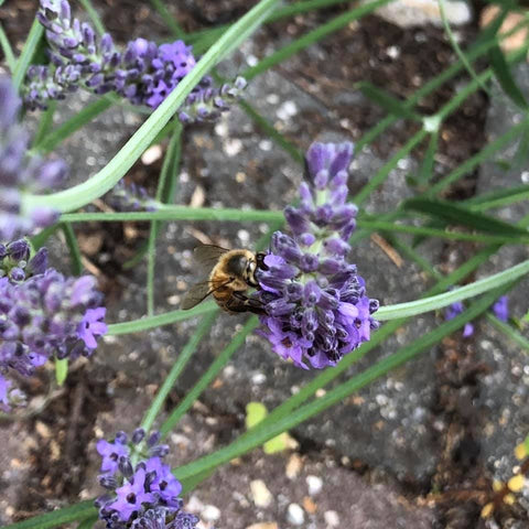 Ringwood New Forest Honey - Lavender