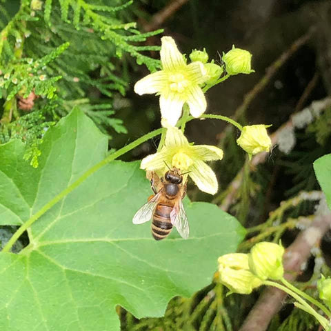 Ringwood New Forest Honey - Wild Bryony