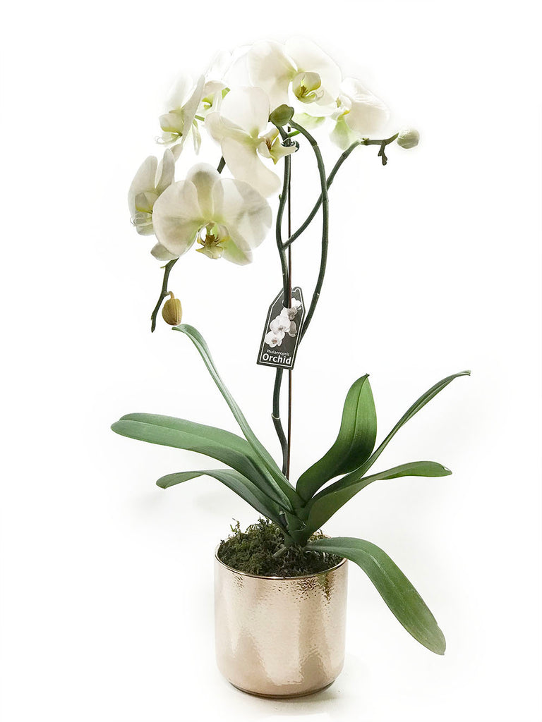 Phalaenopsis Orchid (Potted) OUT OF STOCK