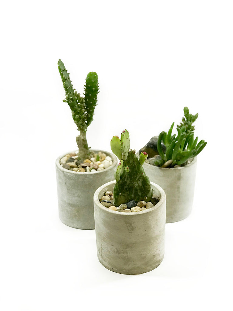 Cacti Plants - SOLD OUT