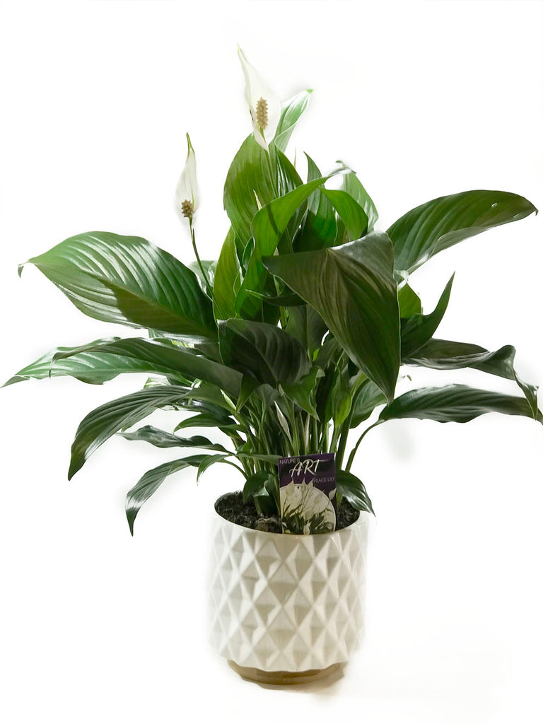 Peace Lily (Potted) - UNAVAILABLE