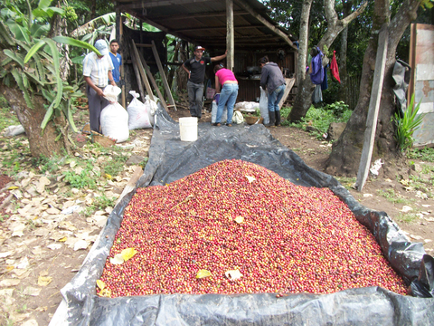 Coffee that has already been weighed. It is now ready for bagging and transport to the coffee mill (beneficio)