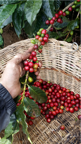 Picking coffee all day is hard work. Your hands get dirty and often get scratched or cut.